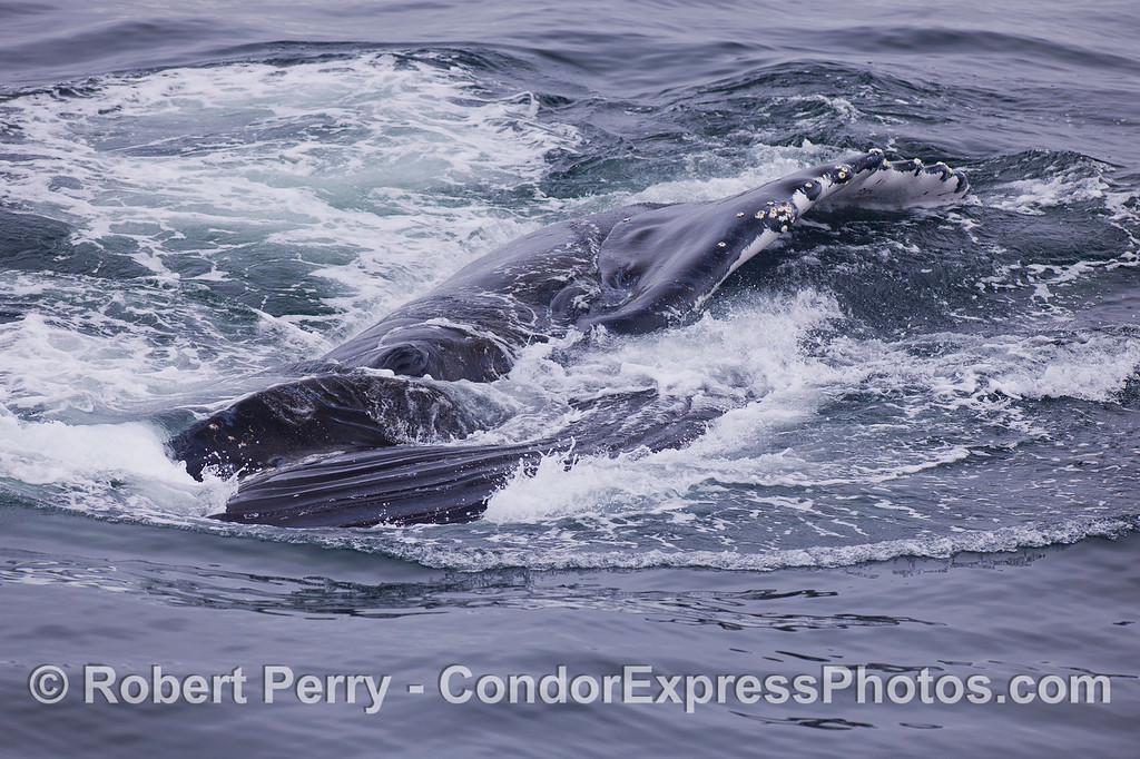 Image 4 of 4:  A very close encounter with a surface lunge feeding Humpback Whale (<em>Megaptera novaeangliae</em>).  The whale is on its right side, and in this final stage of feeding, the mouth closes and hundreds of gallons are ejected through the baleen filter.  Here the ventral grooves that were fully expanded are collapsing.  The long left pectoral fin can also be seen.
