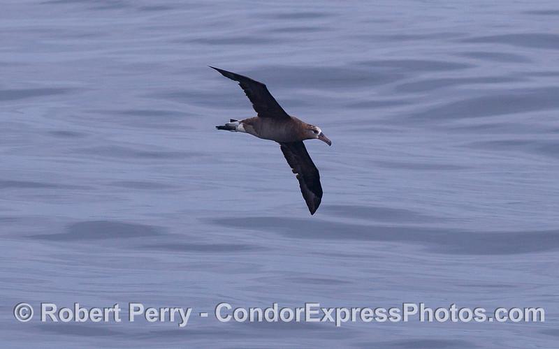 A Black-footed Albatross (<em>Phoebastria nigripes</em>).