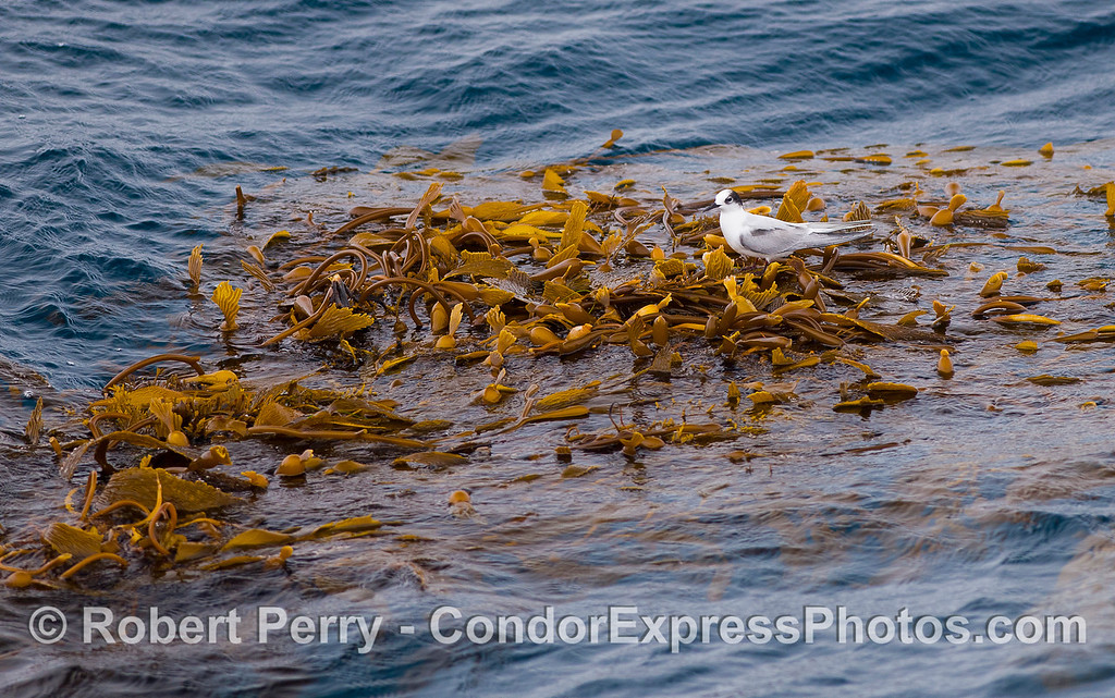 On the western edge of the San Juan Seamount, 99.1 miles from Santa Barbara, a lone Common Tern (<em>Sterna hirundo</em>) finds a place to rest on a drifting paddy of Giant Kelp (<em>Macrocystis pyrifera</em>).