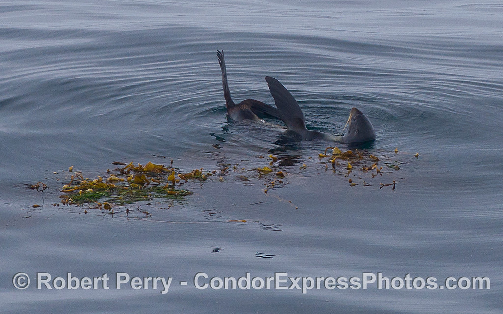A Northern Fur Seal (Callorhinus ursinus) rafts alongside a drifting paddy of Giant Kelp (Macrocystis pyrifera).