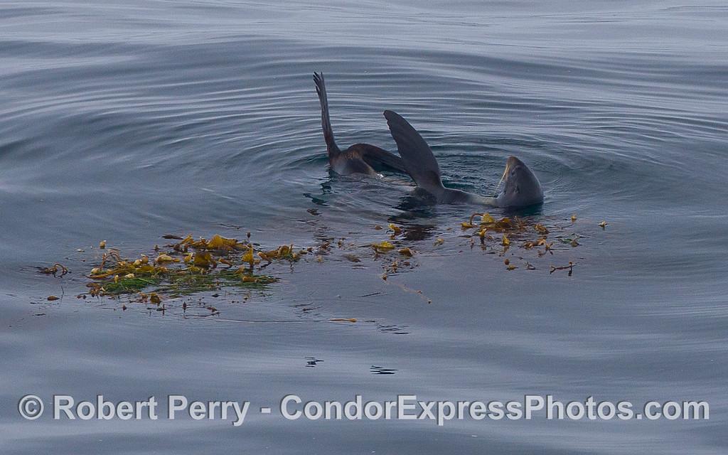A Northern Fur Seal (<em>Callorhinus ursinus</em>) rafts alongside a drifting paddy of Giant Kelp (<em>Macrocystis pyrifera</em>).