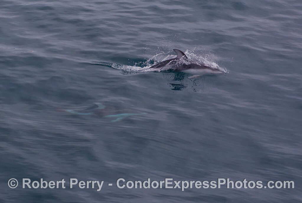 Pacific White-sided Dolphins (<em>Lagenorhynchus obliquidens</em>).