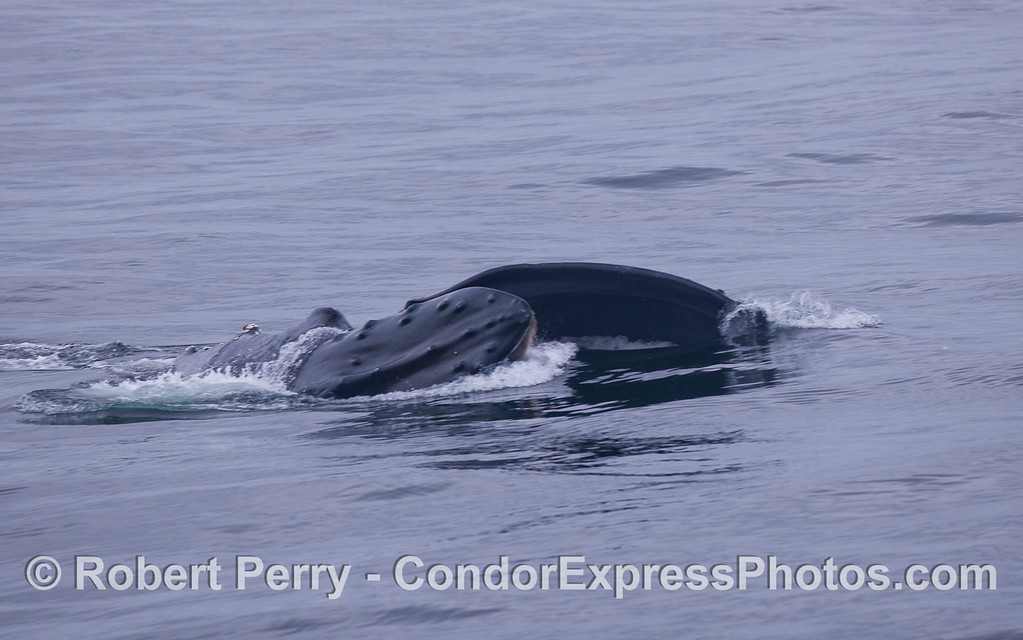 Surface feeding Humpback Whale (Megaptera novaeangliae).
