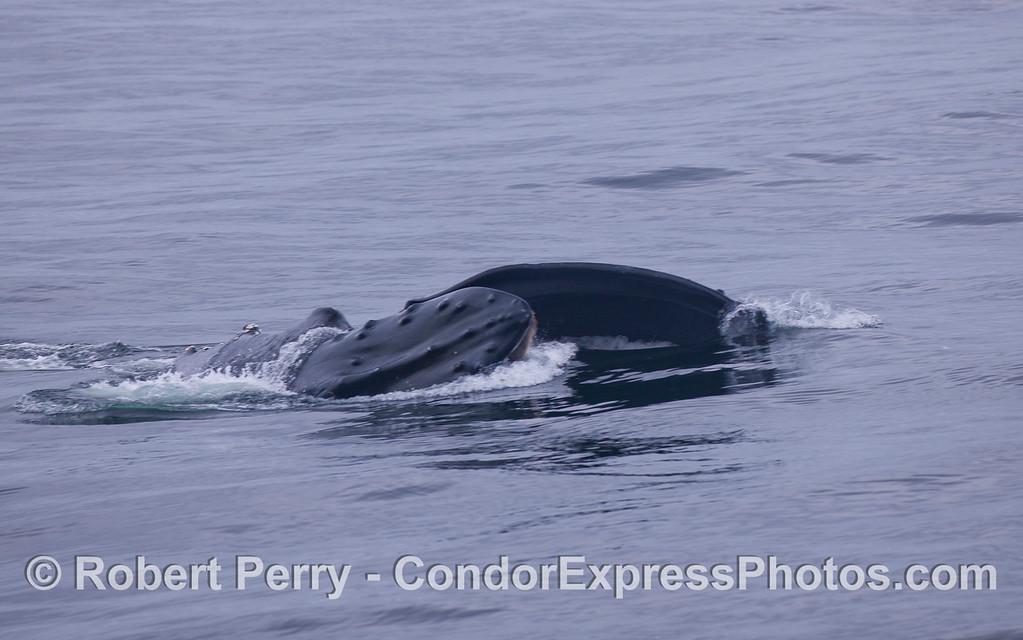 Surface feeding Humpback Whale (<em>Megaptera novaeangliae</em>).