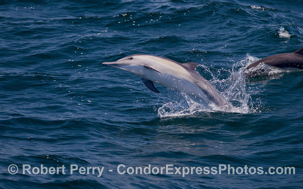 A Long=beaked Common Dolphin (Delphinus capensis) takes a leap.
