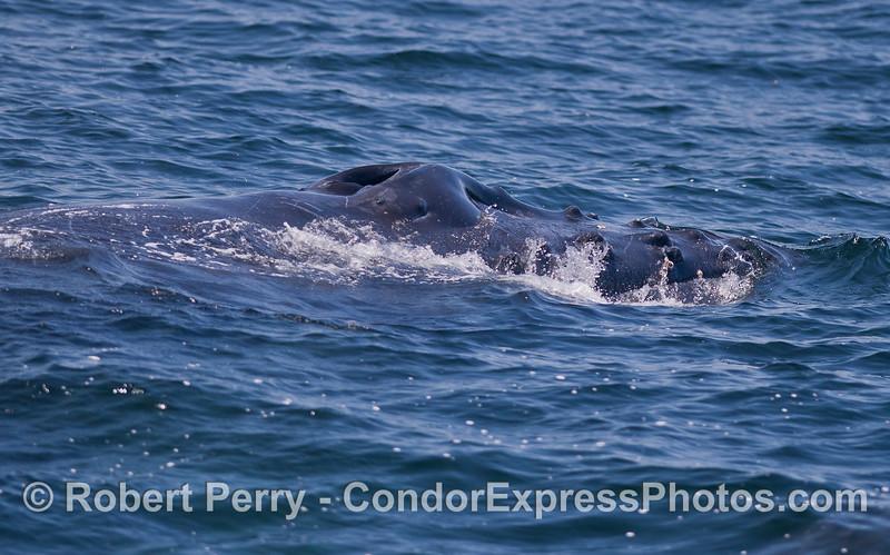 Side view of head - Humpback Whale (Megaptera novaeangliae).