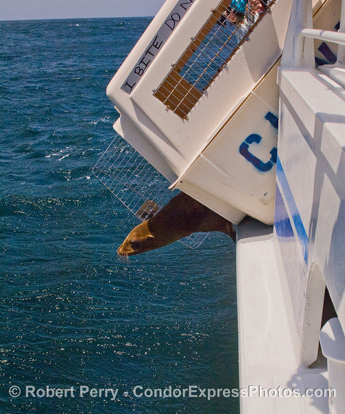 Image 1 of 4:  A California Sea Lion (Zalophus californianus) is released back into the wild after rehabilitation at CIMWI (Channel Islands Marine & Wildlife Institute).