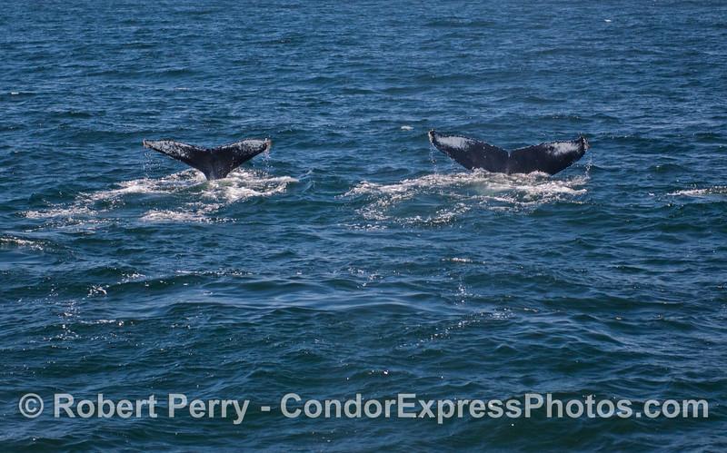 Twin flukes - two Humpback Whales (Megaptera novaeangliae).