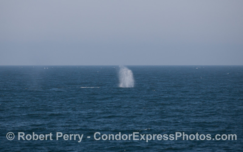 A Blue Whale (Balaenoptera musculus) spouts.