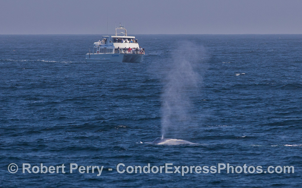 A boat full of passengers gets a look at a Blue Whale (Balaenoptera musculus).