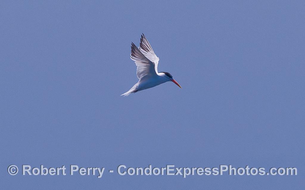 Royal Tern (Sterna maxima).