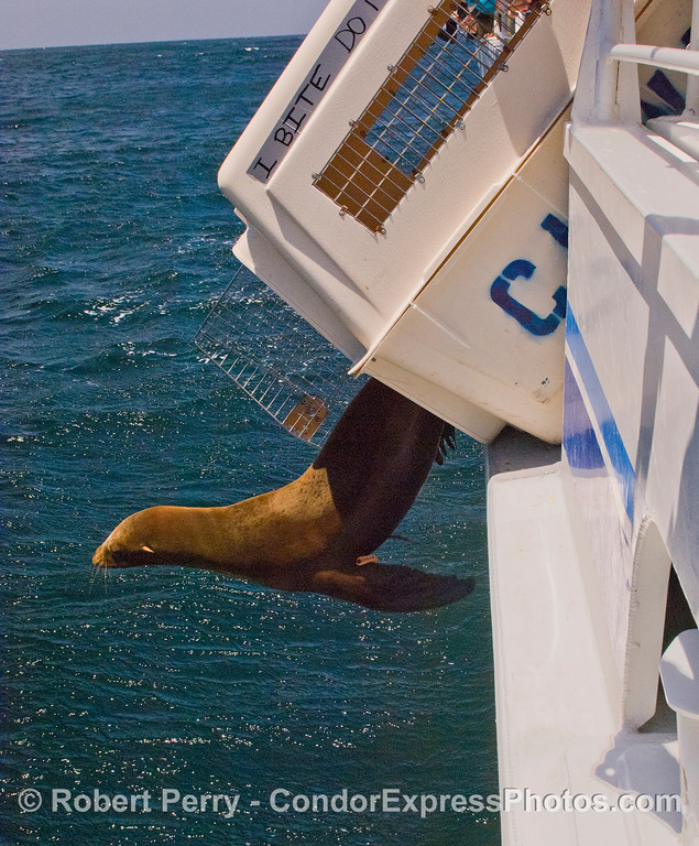 Image 2 of 4:  A California Sea Lion (Zalophus californianus) is released back into the wild after rehabilitation at CIMWI (Channel Islands Marine & Wildlife Institute).