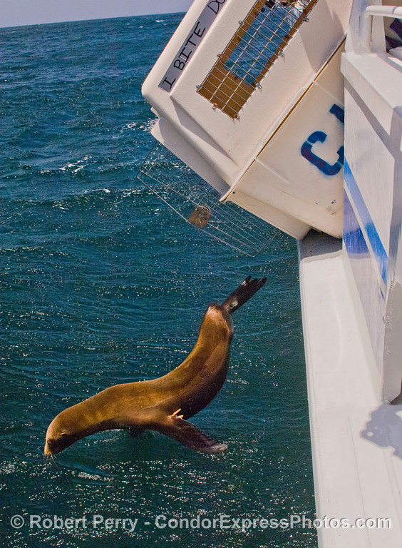 Image 3 of 4:  A California Sea Lion (Zalophus californianus) is released back into the wild after rehabilitation at CIMWI (Channel Islands Marine & Wildlife Institute).