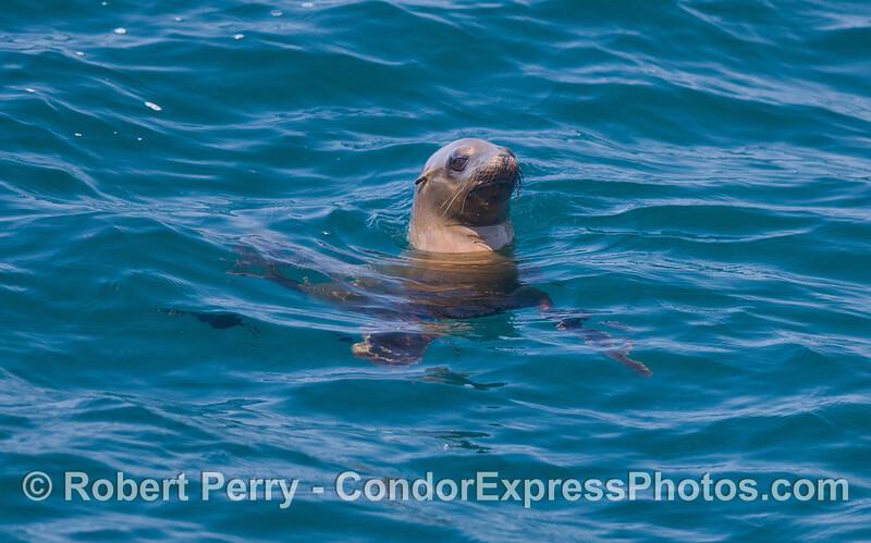 California Sea Lion (<em>Zalophus californianus<em>).