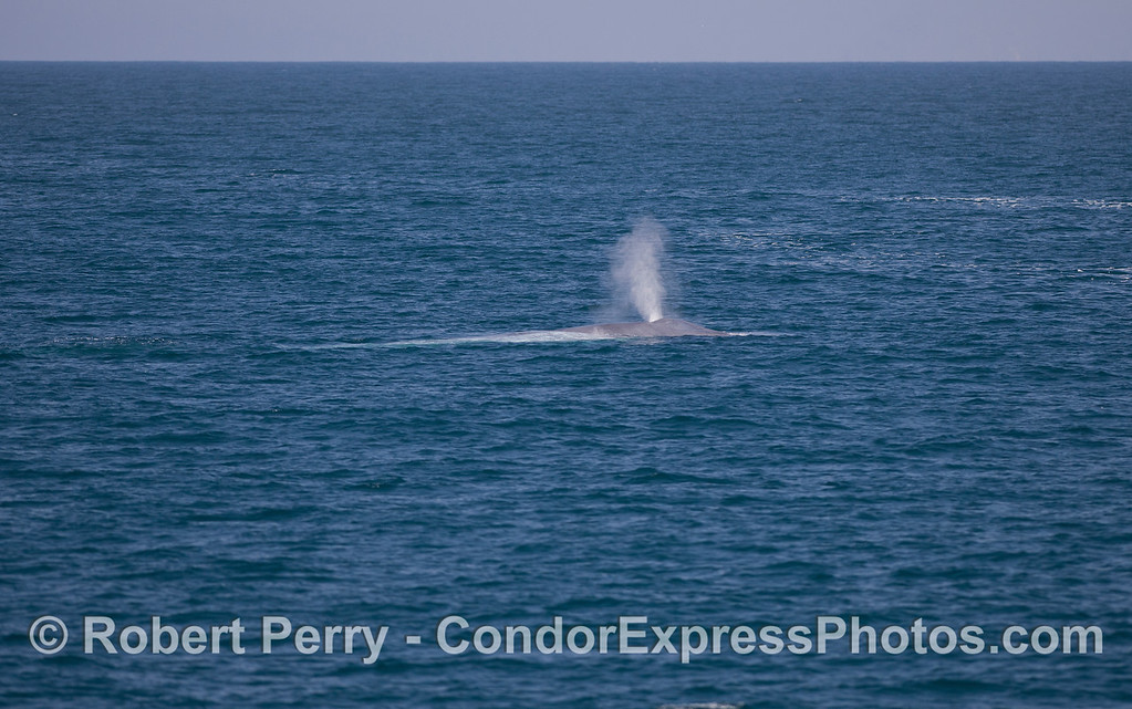 Blue Whale (<em>Balaenoptera musculus<em>).