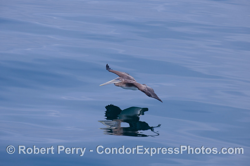 Brown pelican (<em>Pelecanus occidentalis<em>).
