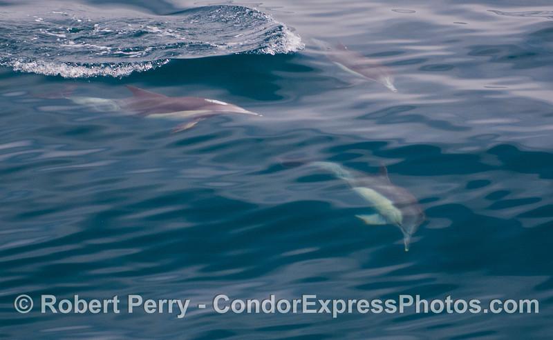 Common Dolphins (<em>Delphinus capensis<em>).
