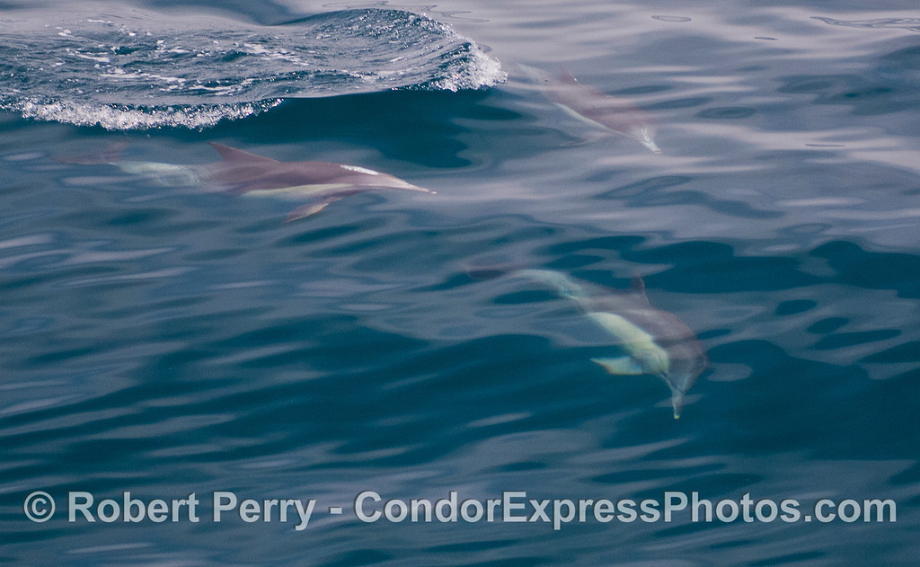 Common Dolphins (<em>Delphinus capensis<em>).