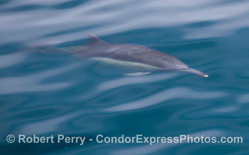 Common Dolphin (<em>Delphinus capensis</em>) underwater.