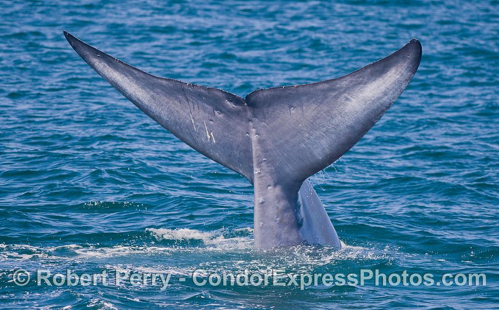 Blue Whale (<em>Balaenoptera musculus<em>)