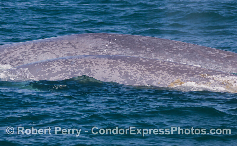 Blue Whale (<em>Balaenoptera musculus</em>) and her young calf.