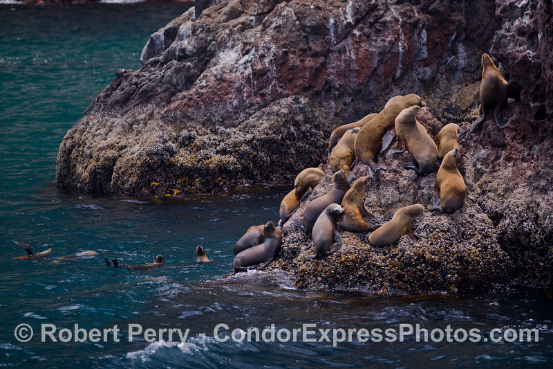 A favorite hauling out spot for California Sea Lions (<em>Zalophus californianus</em>) at Santa Cruz Island.