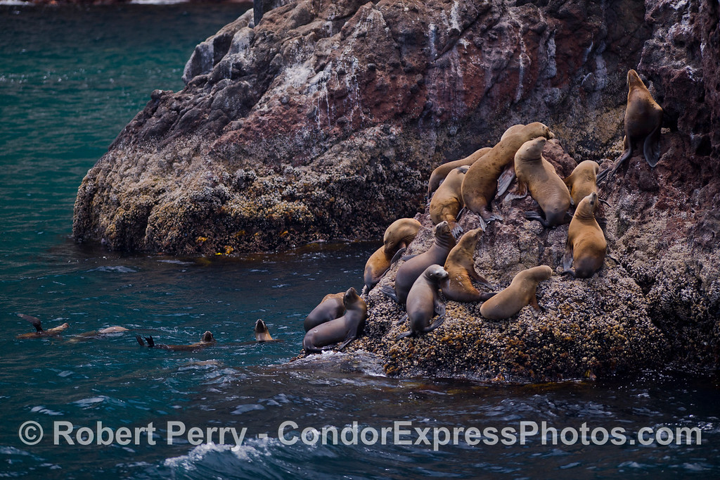 A favorite hauling out spot for California Sea Lions (<em>Zalophus californianus</em>) at Santa Cruz Island.
