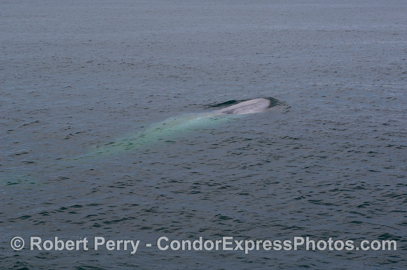 Image 1 of 2: A Blue Whale (<em>Balaenoptera musculus</em>) glows underwater.