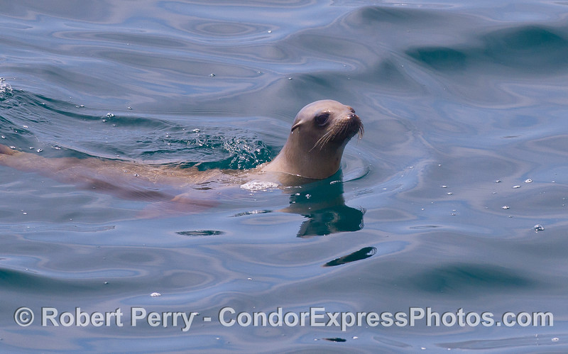 A curious young California Sea Lion (<em>Zalophus californianus</em>).