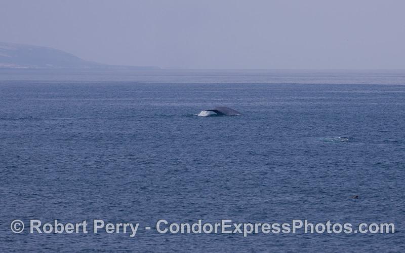 Blue Whale (<em>Balaenoptera musculus</em>) tail with Santa Rosa Island in back.
