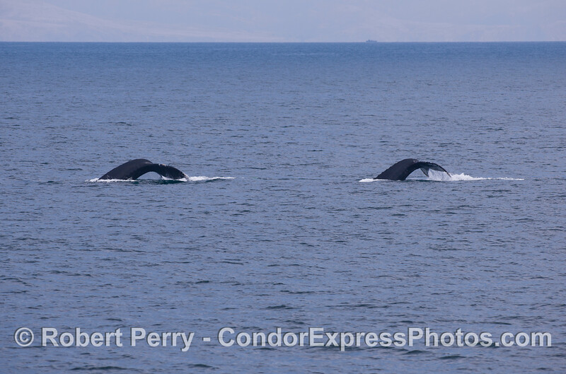 Two Humpback Whales (<em>Megaptera novaeangliae</em>) with Santa Rosa Island in back.