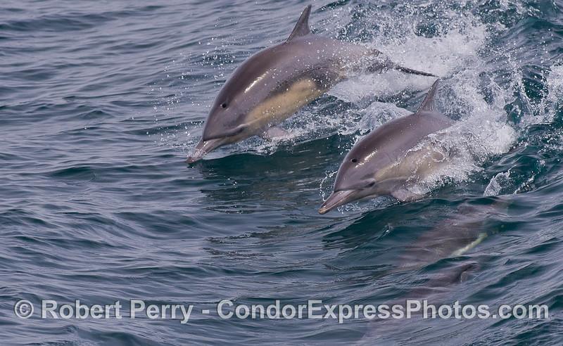 Two leaping A Common Dolphins (<em>Delphinus capensis</em>).