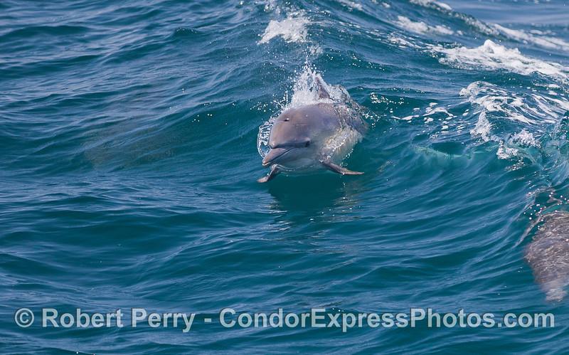 A Common Dolphin (<em>Delphinus capensis</em>).