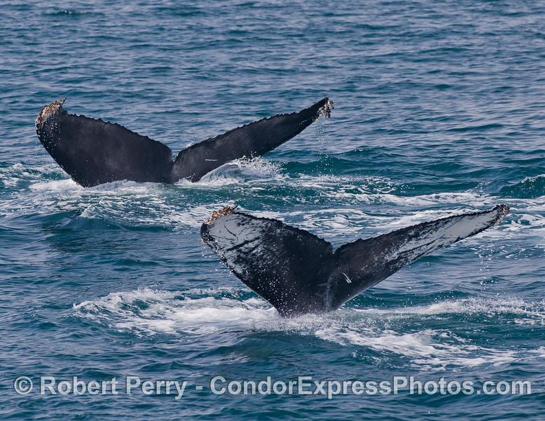 Two tail fluke signature patterns - Humpback Whales (<em>Megaptera novaeangliae</em>).