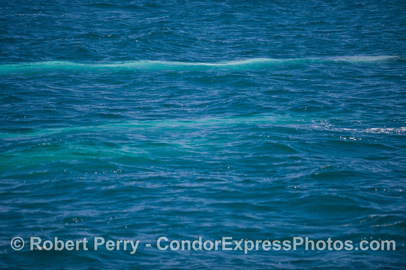 Three blue streaks -  Blue Whales swim just under the surface (<em>Balaenoptera musculus</em>).