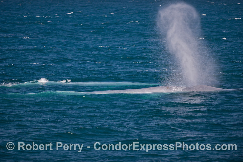 Blue Whales swim just under the surface (<em>Balaenoptera musculus</em>) and one spouts.
