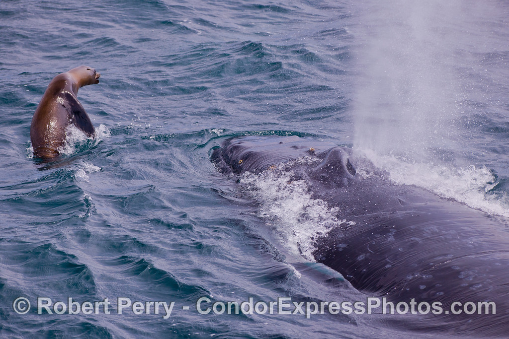 A bold and frisky California Sea Lion (<em>Zalophus californianus</em>) interacts with a Humpback Whale (<em>Megaptera novaeangliae</em>).