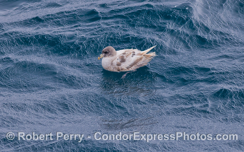 Fulmar (<em>Fulmaris glacialis</em>) with atypical white feathers.