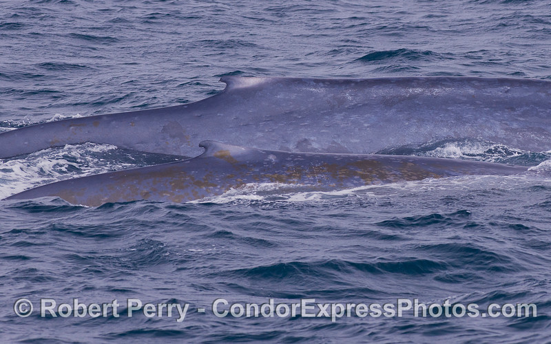 Mother and calf  Blue Whales (<em>Balaenoptera musculus</em>).  The juvenile is coated with diatoms (<em>Cocconeis cetacus</em>).
