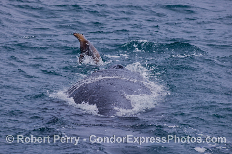 A California Sea Lion (<em>Zalophus californianus</em>) torments a Humpback Whale (<em>Megaptera novaeangliae</em>).