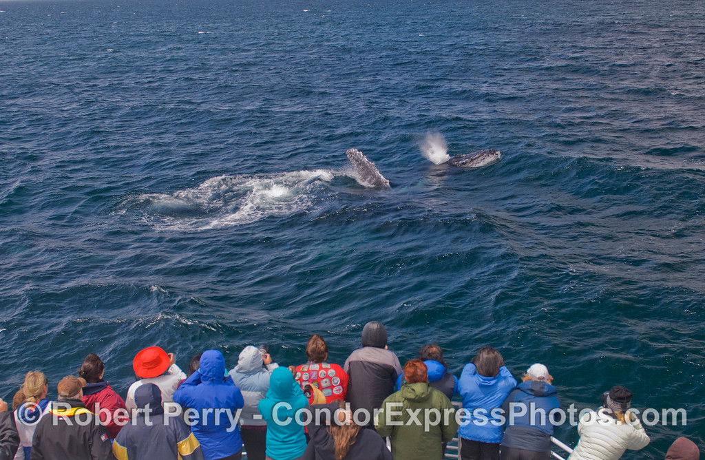 Humpback Whales (<em>Megaptera novaeangliae</em>) and whalers on board the Condor Express.