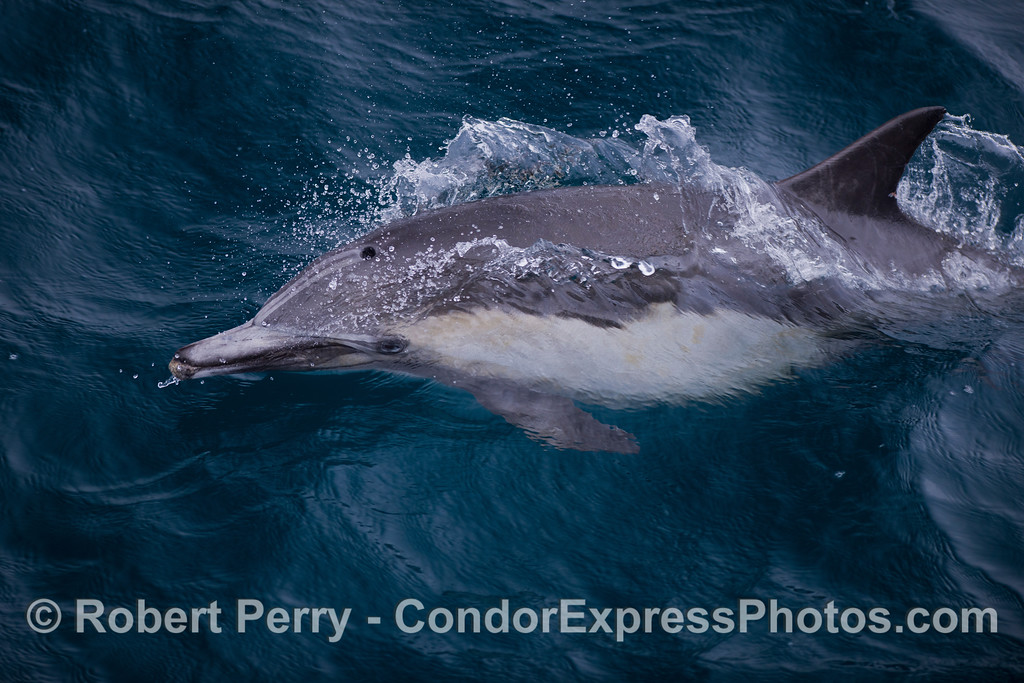 Mating Common dolphins (<em>Delphinus capensis</em>)..