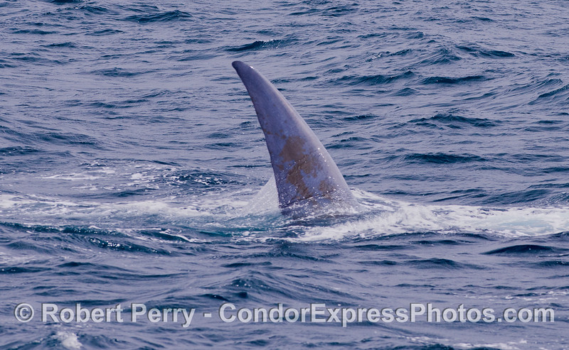 A  Blue Whale (<em>Balaenoptera musculus</em>) rolls around and exposes half of its giant tail fluke.