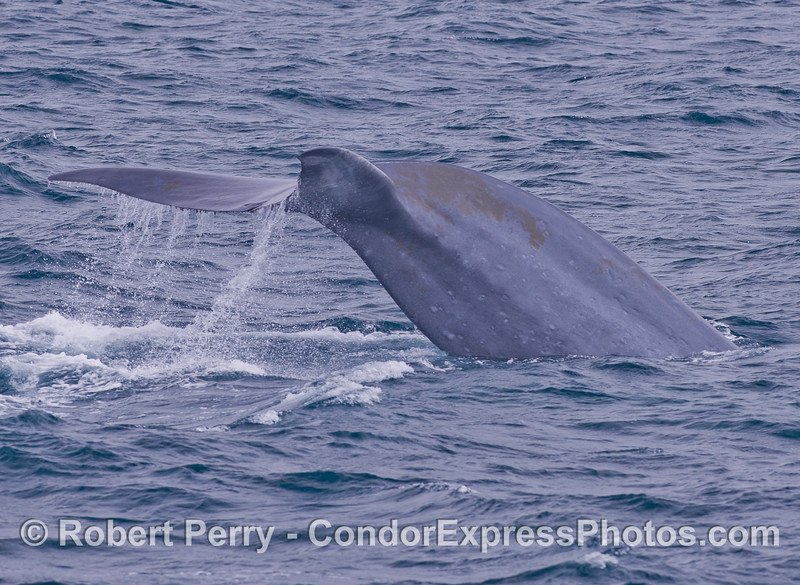 Blue Whale (<em>Balaenoptera musculus</em>) fluking up.