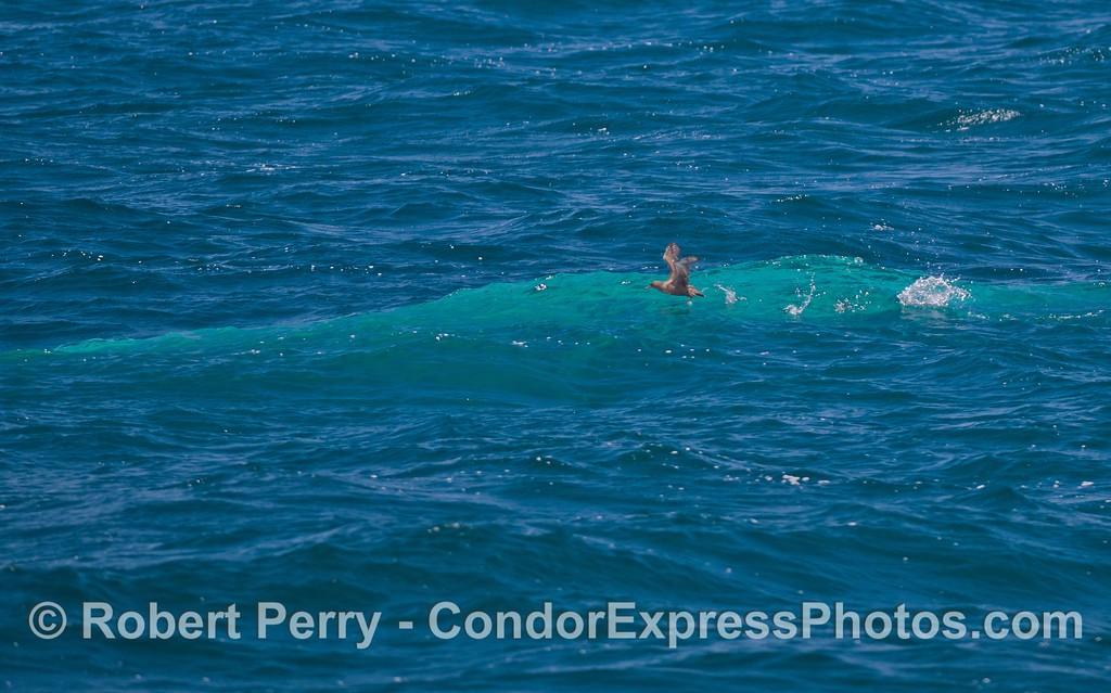 A  Blue Whale swims just under the surface (<em>Balaenoptera musculus</em>) and scares up a Sooty Shearwater (<em>Puffinus griseus</em>).