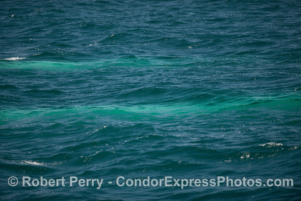 Two blue streaks -  Blue Whales swim just under the surface (<em>Balaenoptera musculus</em>).