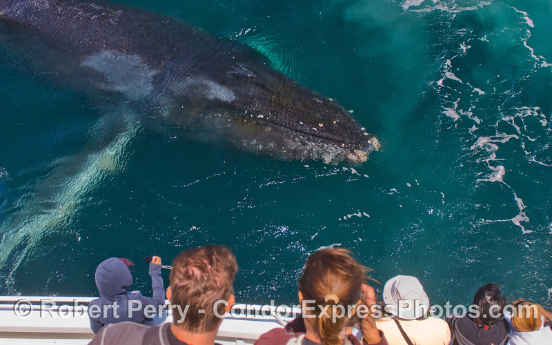 A friendly Humpback Whale (<em>Megaptera novaeangliae</em>) greets the whale watchers on board the Condor Express.