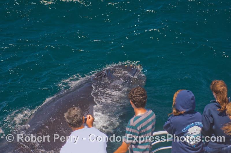 Great looks at a friendly Humpback Whale (<em>Megaptera novaeangliae</em>).