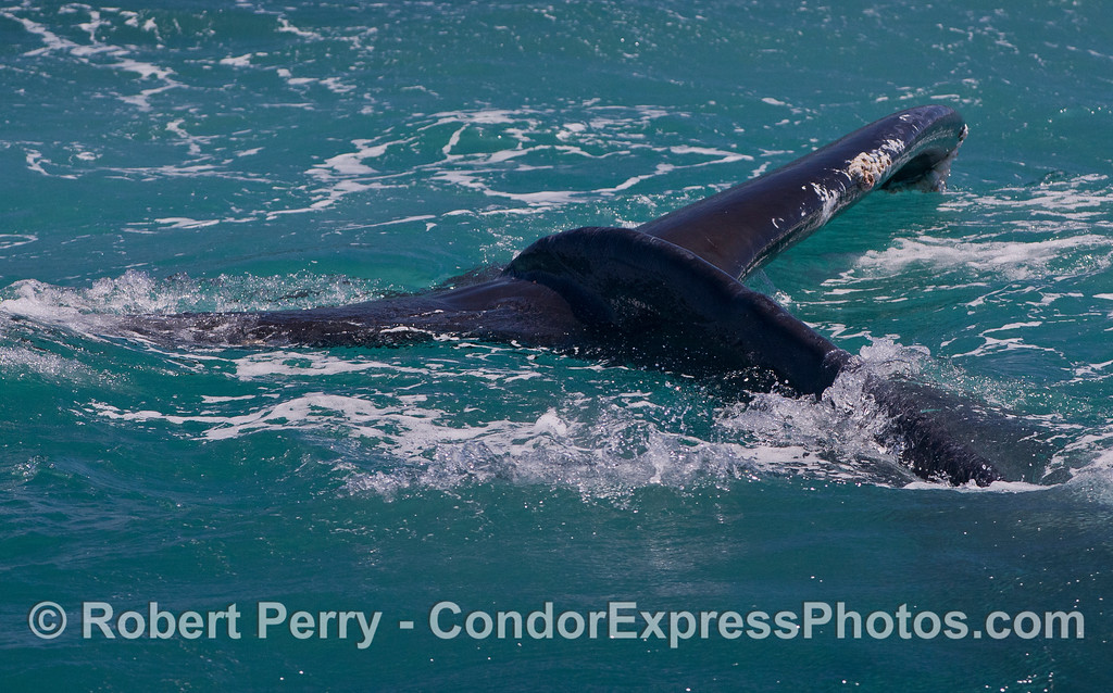 A lazy tail fluke of a Humpback Whale (<em>Megaptera novaeangliae</em>).