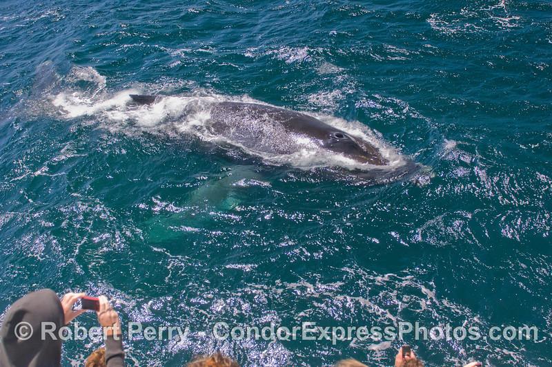 Humpback Whale (<em>Megaptera novaeangliae</em>).